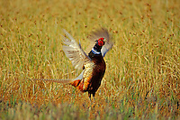 Male ring-necked pheasant (Phasianus colchicus) spring mating display.