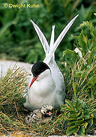 MC69-082z  Arctic Tern - adult at nest with chick, incubating - Machias Seal Island, Bay of Fundy - Sterna paradisaea