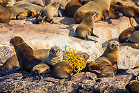 Cape fur seal, Arctocephalus pussilus pussilus, entangled in trawl netting, Seal Island, False Bay, South Africa