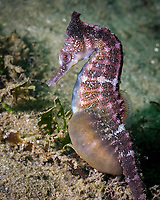 White's seahorse, New Holland seahorse, or Sydney seahorse, Hippocampus whitei, pregnant male, endemic species, endangered species, Port Stephens, New South Wales, Australia, Pacific Ocean