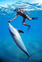 Snorkeler holding Sea Cucumber, Holothuria edulis, swimming with wild Bottlenose Dolphin, Tursiops truncatus, Nuweiba, Egypt, Red Sea., Northern Africa