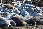 Fur Seals, Elsehul Bay