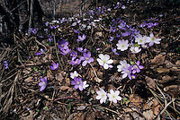 Liverleaf, Hepatica nobilis, blooming color variations, Wallis, Switzerland, March 1998