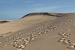 Footprints and ATV tracks stretch across the white dunes, about 30 kilometers north of Mui Ne, Vietnam. Nov. 16, 2011.
