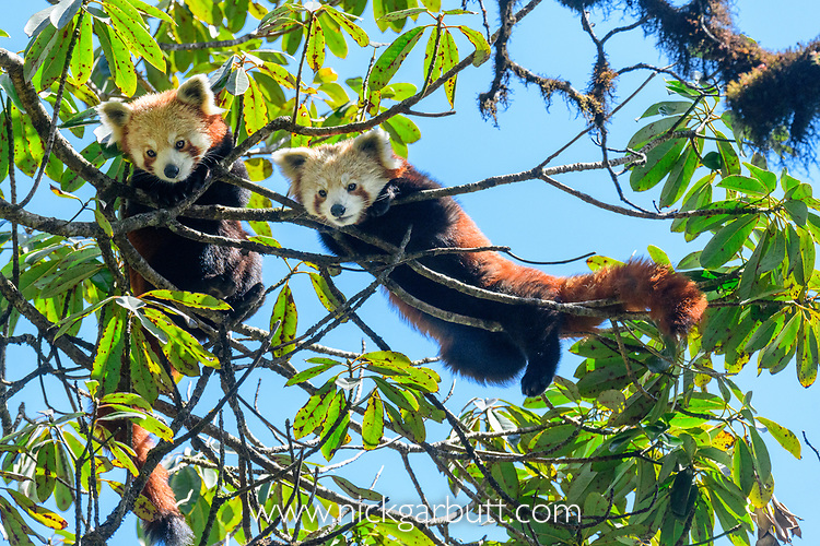 Young red pandas (Ailurus fulgens) (western subspecies A. fulgens fulgens) (sometimes lesser panda, red bear-cat, red cat-bear) climbing in temerate forest understorey. Mid montane forest, Himalayan foothills, Singalila National Park, India / Nepal Border.