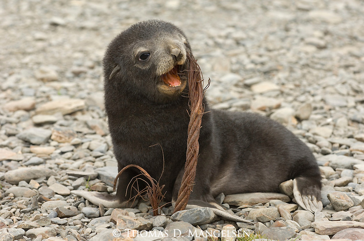 Close-up of an Antarctic fur seal pup sitting on the beach chewing wire in Stromness, South Georgia.