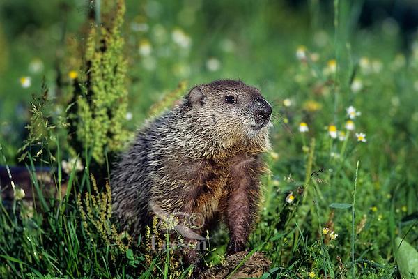 Groundhog or Woodchuck (Marmota monax).