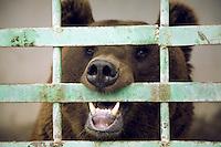 Azerbaijan. Shamakha Region. Shamakha. Caucasian brown bear in a cage. Animal behind bars. © 2007 Didier Ruef