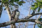 Female Harpy Eagle (Harpia harpyja) (Family Accipitridae) perched close to its nest. Pousada Currupira d'Araras, south west Brasil.