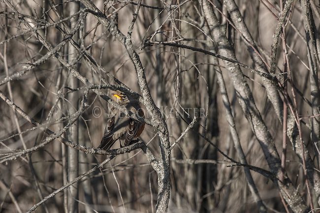 A robin in thick brush in early spring in montana.