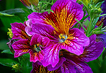 Vashon-Maury Island, WA: Close up of Salpiglossis sinuata/ Painted Tongue