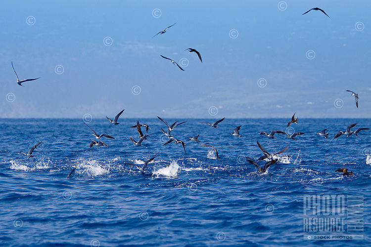 Sooty tern, Onychoprion fuscatus = Sterna fuscata, and wedge-tailed shearwater, Puffinus pacificus, feeding on bait fish driven to the surface by attacking skipjack tuna, Katsuwonus pelamis, underwater, Kona Coast, Big Island.