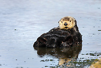 Southern sea otter or California sea otter Enhydra lutris nereis, male, Monterey Bay National Marine Sanctuary, Monterey, California, USA, Pacific Ocean