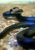 A coiled Black Racer snake ready to defend itself in Holly Hill, FL.  (Photo by Brian Cleary/www.bcpix.com)