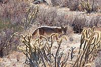 Coyote, Baja, Mexico