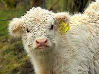 White Highland heifer calf.