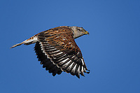 Ferruginous Hawk, Colorado roadside