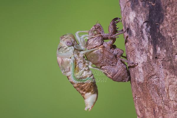 Cicada (Tibicen resh), adult emerged from nymph skin drying wings, Sinton, Corpus Christi, Coastal Bend, Texas, USA