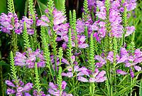 'Vivid' Obedient Plant (Physostegia 'Vivid'} blossoms. Al's Garden Center. Oregon