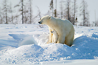 polar bear, Ursus maritimus, mother and cub, near snow den, Wapusk National Park, Hudson Plains Ecozone, Manitoba, Canada