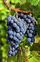 MUSCAT GRAPES ripen on the vine at JOULLIAN VINEYARDS - CARMEL VALLEY, CALIFORNIA