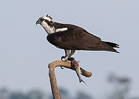 An osprey perches with its dinner above the Rio Tarcoles.