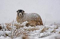 Swaledale ewe in the snow, Bentham, North Yorkshire....Copyright..John Eveson, Dinkling Green Farm, Whitewell, Clitheroe, Lancashire. BB7 3BN.01995 61280. 07973 482705.j.r.eveson@btinternet.com.www.johneveson.com