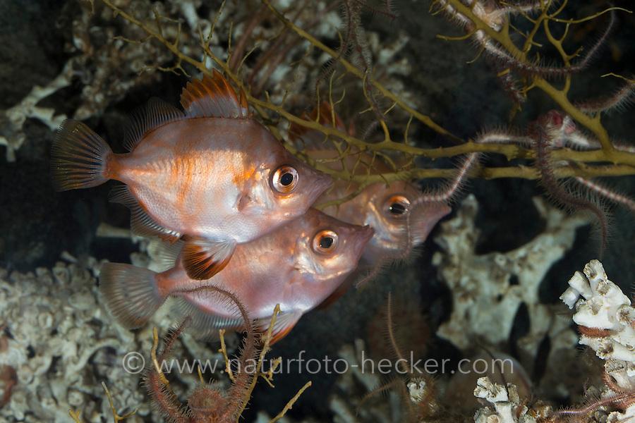 Eberfisch, Ziegenfisch, Capros aper, Boarfish, Boar-fish, Sanglier