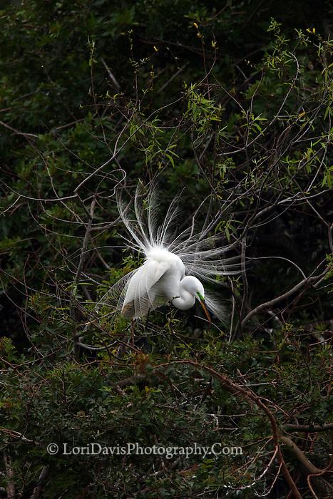 Great Egret Displaying Breeding Plumage  #E26