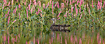Wood duck swimming near smartweed