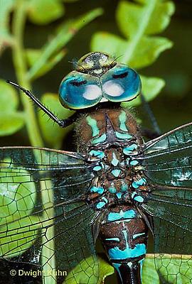 1O06-010b  Dragonfly - adult