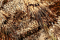 Close up scale detail of Barberry Carpet Moth (Pareulype berberata)