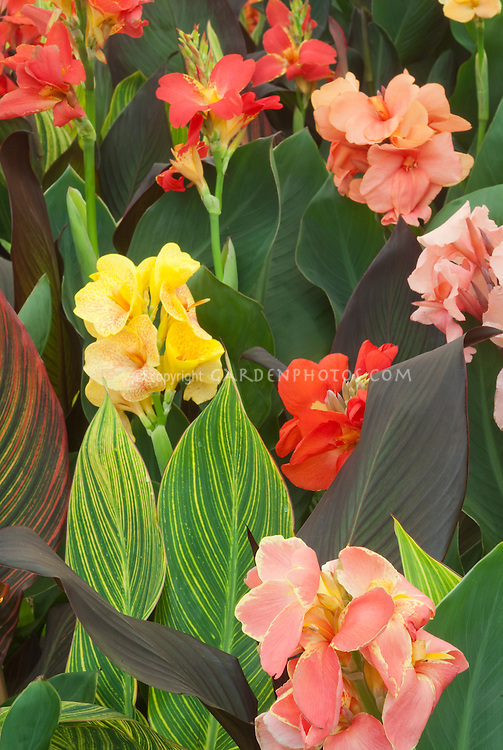 Cannas in variegated striped foliage and green and purple, and flower colors from pink, yellow, red, spotted
