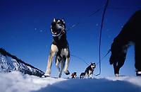 Keith Aili's Team on Yukon on Way to Nulato