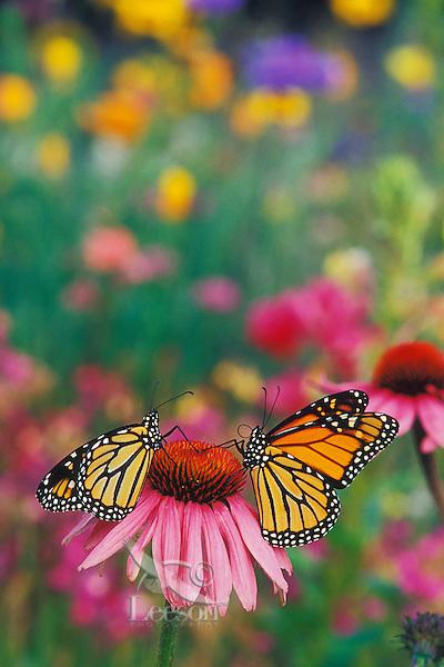 Monarch butterflies (Danaus plexippus) on coneflower in field of wildflowers.