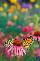 Monarch butterflies (Danaus plexippus) on coneflower in field of wildflowers.