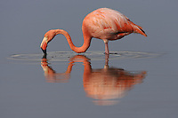 American Flamingo (Phoenicopterus ruber), with reflection in water.