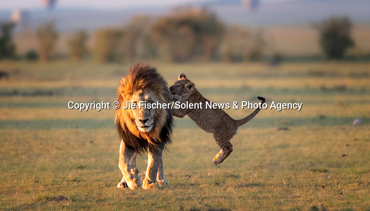 It's the Lion Spring! - as a young lion cub leaps towards its unwitting father.  The king of the jungle seems unaware of the youngster flying towards his mane as he walks on.<br /> <br /> Having recently finished feasting upon a wildebeest, the cub was excitable and ready to play.  The photos were taken by wildlife photographer Jie Fischer at the Maasi Mara National Reserve, in Kenya.  SEE OUR COPY FOR DETAILS.<br /> <br /> Please byline: Jie Fischer/Solent News<br /> <br /> © Jie Fischer/Solent News & Photo Agency<br /> UK +44 (0) 2380 458800