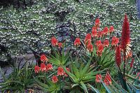Winter, red flowering Aloe spinosissima (Spider Aloe) succulent with California native shrub Manzanita (Arctostaphylos manzanita) in Ruth Banroft Garden