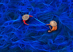 Fishermen sat among a sea of bright blue fishing nets as they repair them before heading back onto the water.  Dressed in brightly coloured shirts and large cane hats, the workers painstakingly use a needle and thread to patch the nets so they can be thrown into the sea once more.<br /> <br /> The photos were taken by Indian photographer Abhishek Basak in a village near Sundarbans, West Bengal.  SEE OUR COPY FOR DETAILS.<br /> <br /> Please byline: Abhishek Basak/Solent News<br /> <br /> © Abhishek Basak/Solent News & Photo Agency<br /> UK +44 (0) 2380 458800