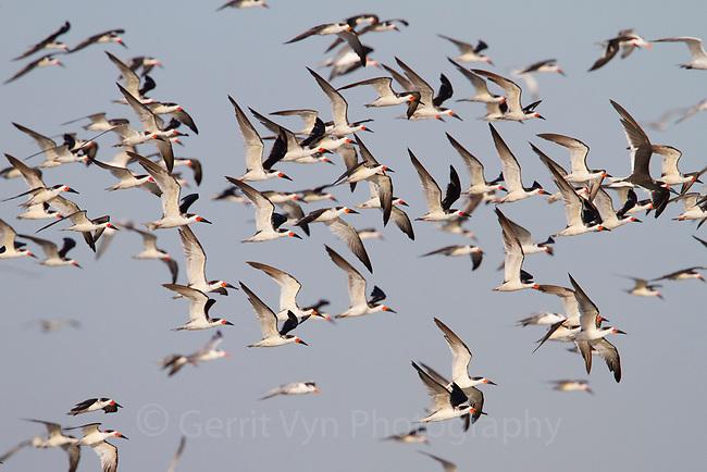 Flock of Black Skimmer (Rynchops niger) in flight. Terrebonne Parish, Louisiana. October.
