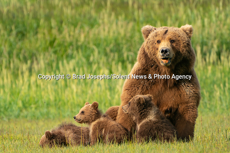 Pictured:  Smile:  The cubs with mum.<br /> <br /> A mother bear smiles at the camera as she poses with her cubs for a family portrait.  The mum appeared to have gathered her three young in for a tightly knit picture, before smiling for the lens.<br /> <br /> In reality, she was panting in the heat of a sunny afternoon and there were at least another ten bears around them so the mother was keeping them close for protection.  The young cubs also clambered over her and used their mother as a pillow as they rested on a grassy plain near the coast in Katmai National Park, Alaska, USA.  SEE OUR COPY FOR DETAILS.<br /> <br /> Please byline: Brad Josephs/Solent News<br /> <br /> © Brad Josephs/Solent News & Photo Agency<br /> UK +44 (0) 2380 458800