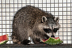 8 week old raccoon munching on a piece of watermelon while under the care of the New England Wildlife Center in Barnstable, Massachusetts.
