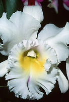 Rhyncholaeliocattleya aka Brassolaeliocattleya Meditation 'King's Ransom,' AM/AOS. Cattleya orchid hybrid, <br /> Rhyncholaeliocattleya Déesse x Cattleya Fedora, 1974, classic corsage orchid with frilly lip