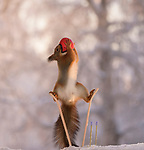 These squirrels look like they're about to hit the slopes and go skiing.  The rodents were photographed standing on tiny skis and holding onto poles in a snowy back garden.<br /> <br /> Photographer Geert Weggen managed to capture the charming images after smearing nutpaste on the poles and hanging food above the skis to tempt the squirrels.  It took him weeks of waiting to get the right pictures outside his house in the Swedish village of Bisgarden.  SEE OUR COPY FOR DETAILS.<br /> <br /> Please byline: Geert Weggen/Solent News<br /> <br /> © Geert Weggen/Solent News & Photo Agency<br /> UK +44 (0) 2380 458800