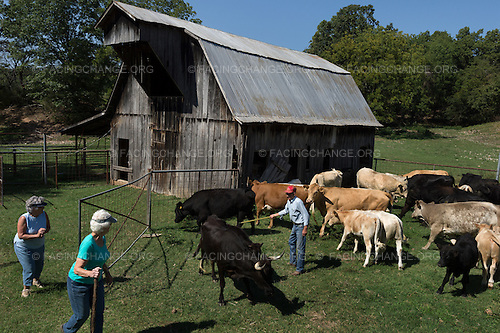 Springdale, Arkansas <br /> Marlene Moore, Karleen King, and Virgil Moore round up cattle to send to auction at a nearby sale barn.