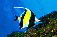 The Moorish Idol ( Zanclus cornutus) is a colorful reef fish found  on Hawaii's coral reefs. Hawaiian name is Kihikihi.