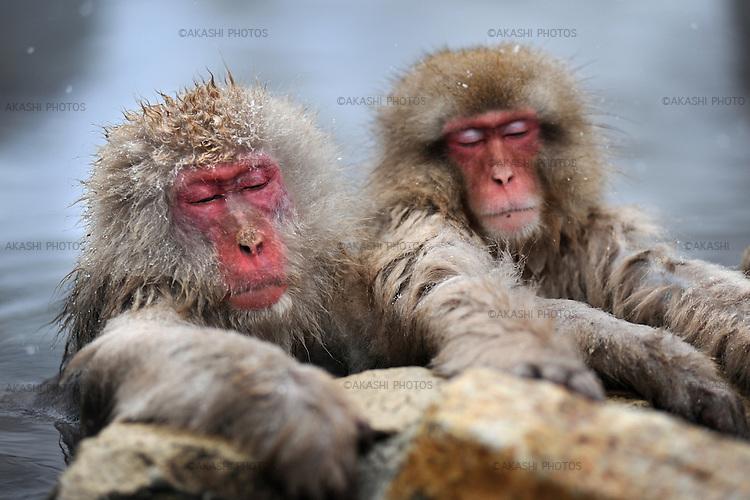Snow monkeys bathe in hot spring water in winter. Jigokudani Monkey Park is located in the valley of Yokoyu-River, in Shigakogen area of the northern part of Nagano-Prefecture. Here Japanese Macaque can be observed nearby in an Onsen area.<br /> <br /> Les singes des neiges se baignent dans l'eau de source chaude en hiver. Le parc des singes Jigokudani est situé dans la vallée de la rivière Yokoyu, dans la région de Shigakogen, dans la partie nord de la préfecture de Nagano. Ici, le macaque japonais peut être observé à proximité dans une zone d'Onsen.