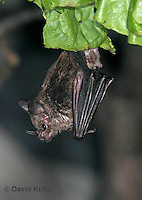 0211-08ss  Seba's Short-tailed Bat, Carollia perspicillata © David Kuhn/Dwight Kuhn Photography