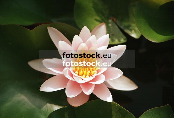 blooming Water Lily (Nymphaea)<br /> <br /> Nenúfar en flor<br /> <br /> blühende Seerose<br /> <br /> 4169 x 2820 px<br /> Original: 35 mm